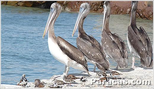 Pelikane auf Paracas